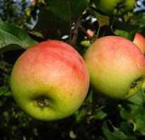 Выращивание яблони сорта синап