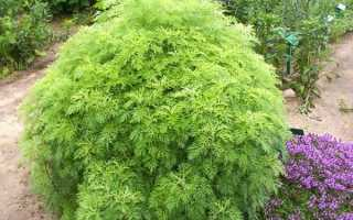 Как посадить и ухаживать за полынью абротан божье дерево