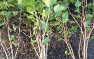 Как правильно посадить смородину осенью
