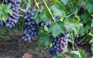 Особенности винограда байконур