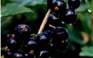 Характеристики смородины сокровище