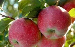 Описание яблони лобо