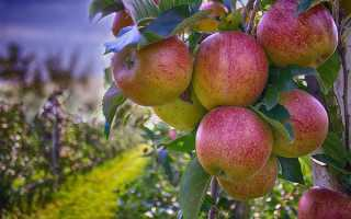 Через сколько лет плодоносит яблоня после посадки