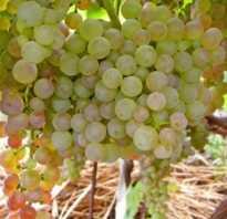 Виноград коринка русская неприхотливый и урожайный сорт