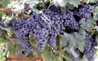 Сорт винограда одесский черный