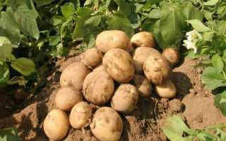 Сорта картофеля для черноземья описание