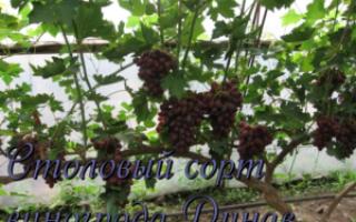 Описание винограда дунав