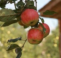 Выращивание яблонь в подмосковье