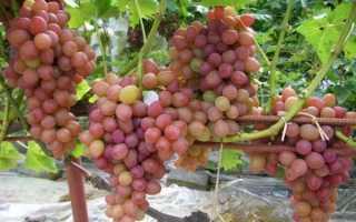 Лучшие ранние сорта винограда
