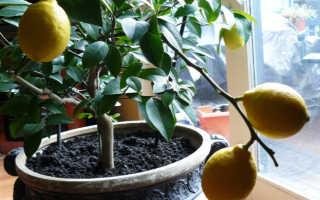 Лимонное дерево в домашних условиях фото посадка и уход