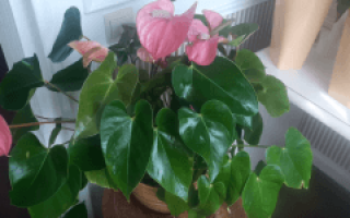 Цветок антуриум красный