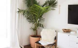 Пальма комнатная чем удобрять