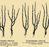 Схема обрезки яблони для новичков