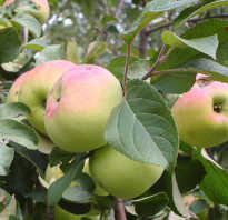 Яблоня имрус описание сорта фото отзывы характеристика