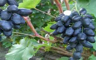 Сорт винограда велика описание с фото и видео